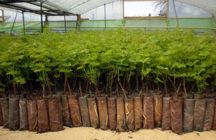 Промышленное выращивание вегетирующих саженцев